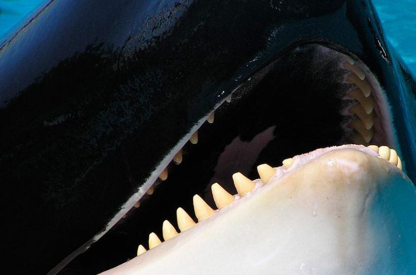 ballenas dentadas