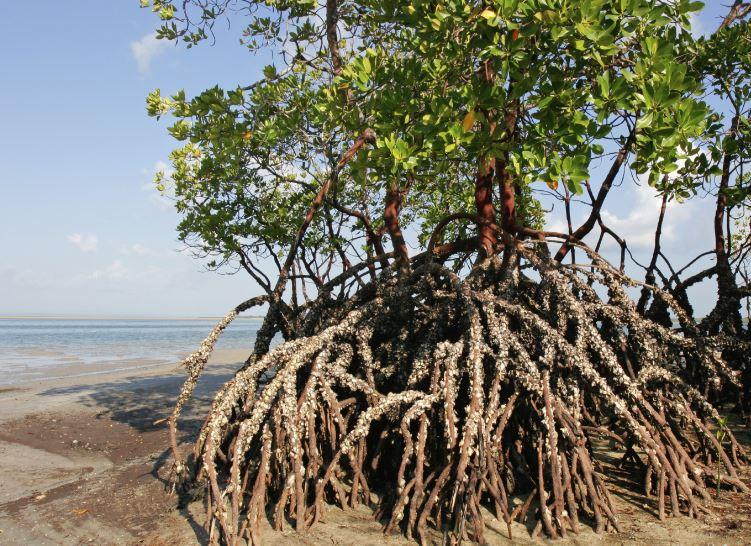 arboles de manglares