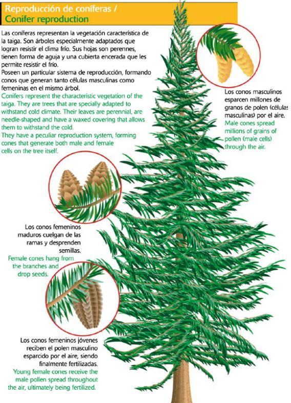 Taiga clima fauna flora y sus caracter sticas ovacen for Arboles de hojas perennes en chile