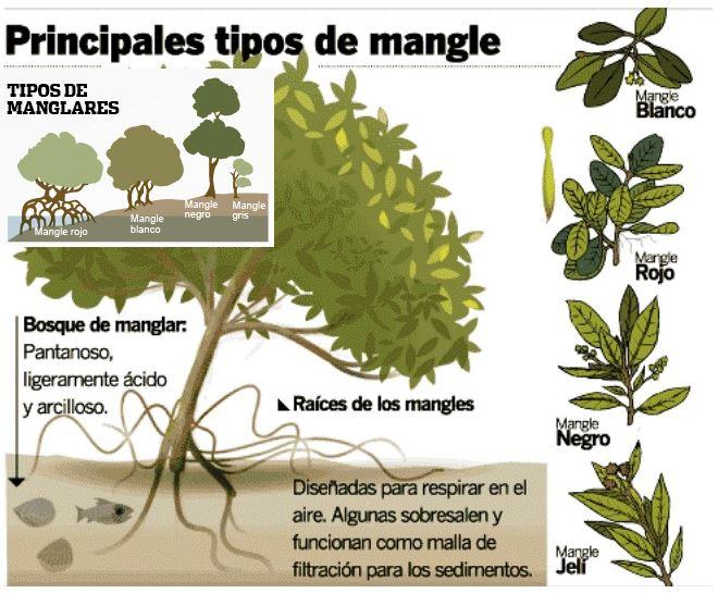 tipos de manglares