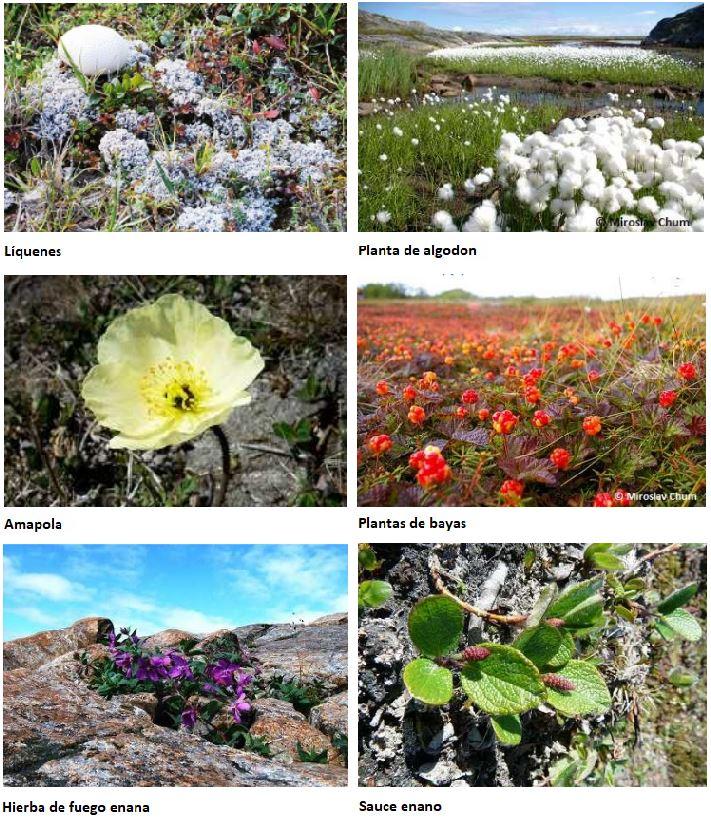 plantas bioma tundra