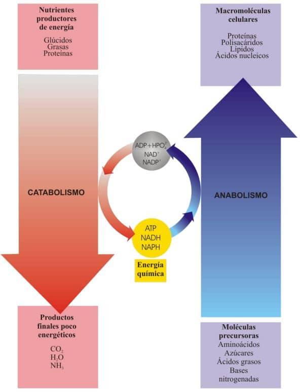 catabolismo y anabolismo