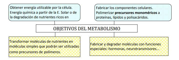objetivos metabolismo