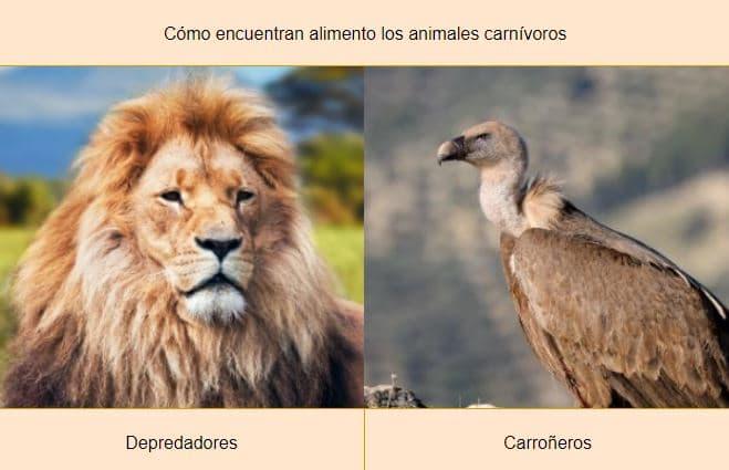 cómo encuentran alimento los animales carnívoros