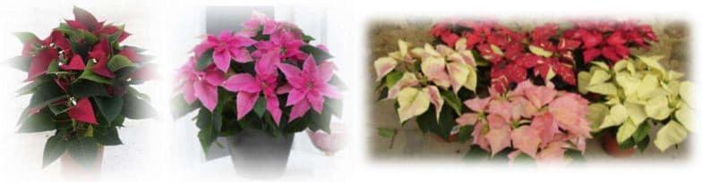 colores flor pascua navidad