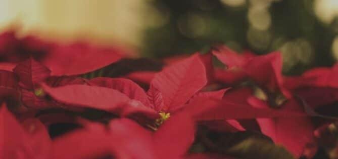 poinsettia flor