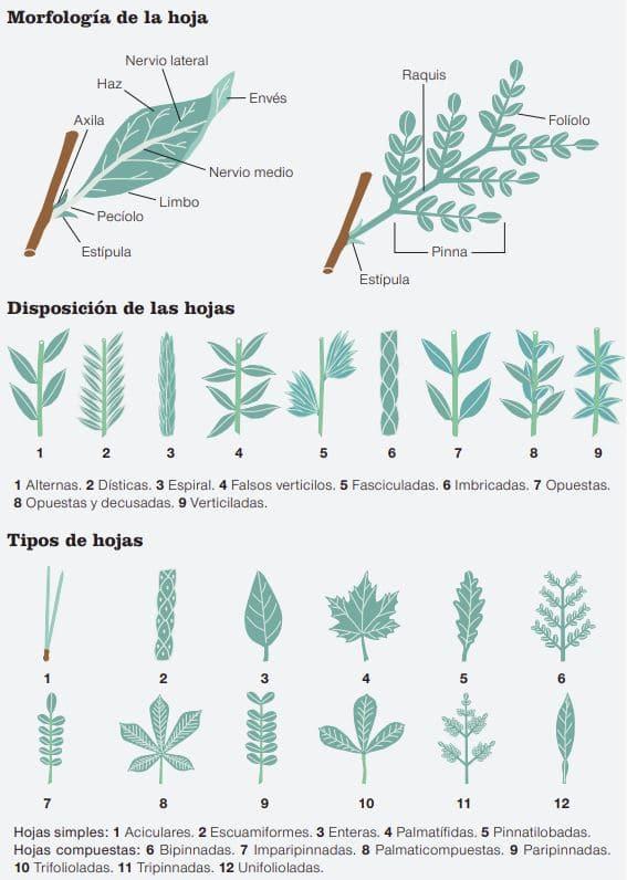 tipos de hojas en los bosques